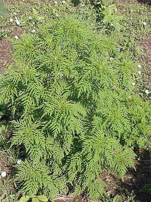 Ambrosia artemsiifolia