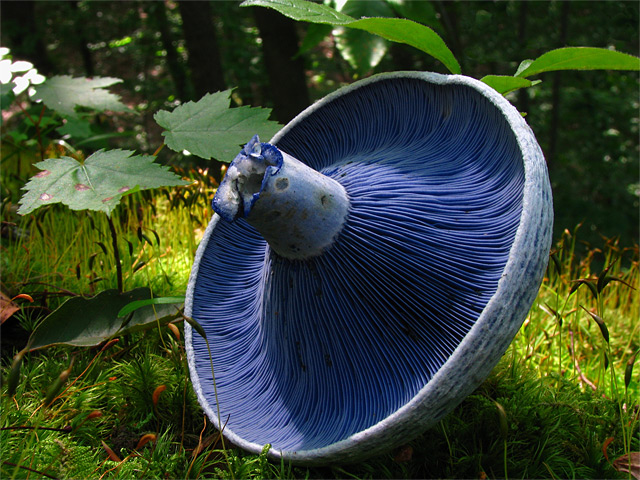 Abgeknickter blauer Pilz auf Waldboden - Fotograf: Dan Molter