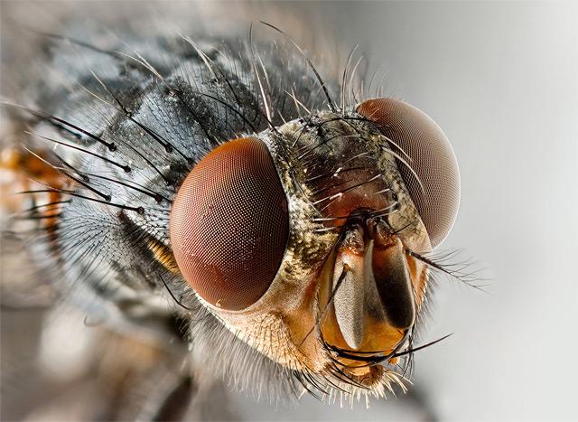 Portrait einer Fliege (Facettenaugen) - Fotograf: Own work (?)