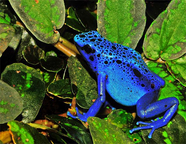 Giftiger blauer Frosch mit Flecken - Fotograf: Michael Gäbler