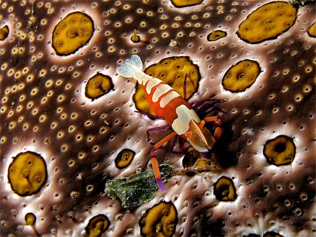 Orange Garnele auf gefleckter Seegurke - Fotograf: Nick Hobgood