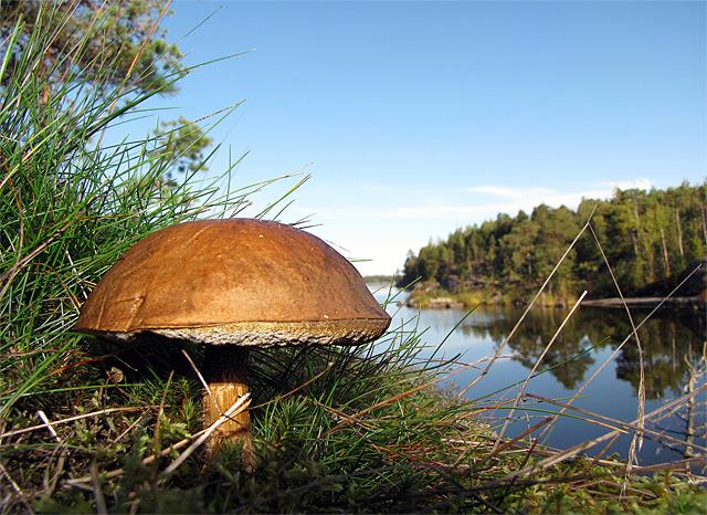 Pilz im Wald am See in Finnland - Fotograf: Petri Tap