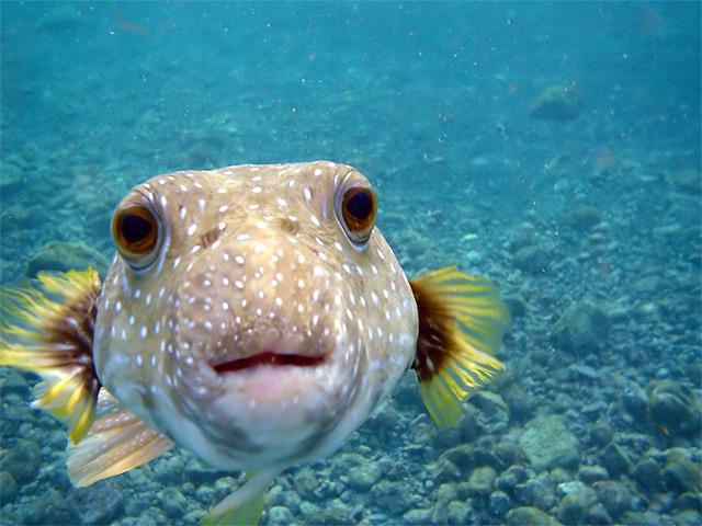 Tetraodon (Fisch) Augen schauen in die Kamera - Fotograf Mila Zinkova