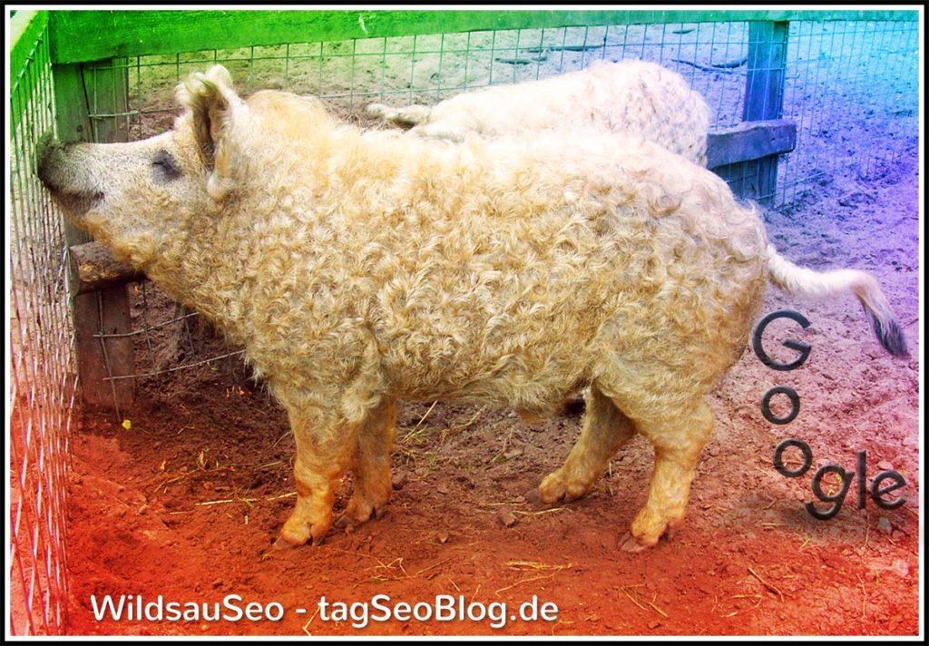Wildsauseo (Foto einer harmlosen Woll-Wildsau)